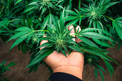 都市种植医疗大麻 库存图片