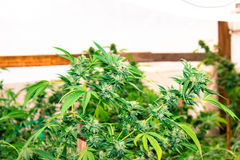 都市种植医疗大麻 库存照片