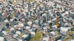 都市鸽子群在街道上的 股票录像