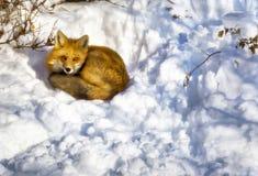 都市Fox 库存照片