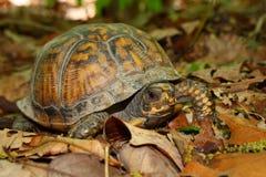 配件箱卡罗来纳州箱型海龟类乌龟 免版税库存图片