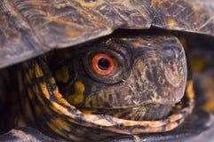 配件箱眼睛被绘的红色乌龟 免版税库存照片