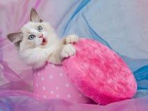 配件箱逗人喜爱的礼品小猫粉红色ragdoll 库存照片
