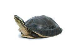 配件箱马来亚乌龟 库存照片