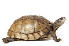配件箱coahuilan乌龟 免版税库存照片