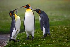 配对企鹅 联接的企鹅国王有绿色背景在福克兰群岛 对企鹅,在自然的爱 美丽 免版税库存图片