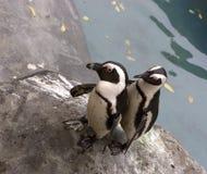 配对企鹅 免版税库存照片