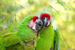 配对伟大的绿色军事金刚鹦鹉Ara militaris mexicana画象 免版税图库摄影