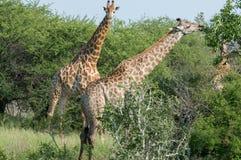 配对在狂放的长颈鹿 免版税库存照片
