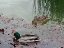 配对鸭子游泳在池塘与芦苇 免版税库存照片