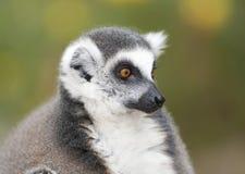 配置文件的黑白环纹尾的狐猴关闭 免版税库存图片