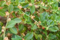 配药植物印地安人人参 免版税库存照片