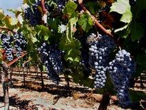 酒接近葡萄在索诺马加利福尼亚葡萄园里 免版税库存照片