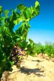酒的黑暗的葡萄在藤茎 免版税库存图片