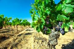 酒的黑暗的葡萄在藤茎 免版税库存照片