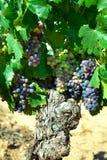 酒的黑暗的葡萄在藤茎 库存照片