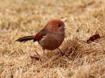酒红喉刺莺的Parrotbill 库存图片