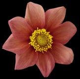 酒红色大丽花的花,与裁减路线的黑被隔绝的背景 特写镜头 没有影子 对设计 八个瓣 免版税图库摄影