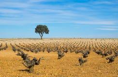 酒,葡萄园与蓝天的树领域 免版税库存图片