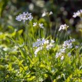 酢酱草开花在春天阳光的碎米荠属植物pratensis在桦树树丛在东萨塞克斯郡 免版税库存照片