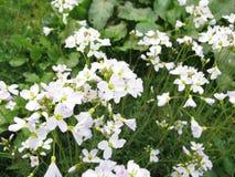 酢酱草,碎米荠属植物pratensis 免版税库存图片