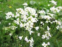 酢酱草,碎米荠属植物pratensis 免版税库存照片