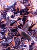 酥脆生物昆虫 免版税库存照片