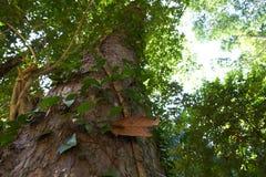酸值的Pangan森林 免版税库存图片