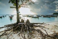 酸值Lipe Satun,泰国2017年10月:杉树的大根在海滩的 免版税库存照片