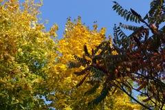 酸果漆树红色叶子和槭树黄色和绿色leafage  库存图片