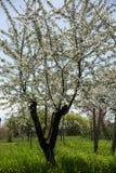 酸樱桃果树园 库存照片