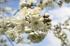 酸樱桃的花 库存照片