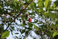 酸樱桃 库存图片
