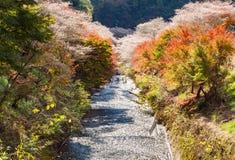 酸浆开花叫与秋叶的Shikisakura 免版税库存照片