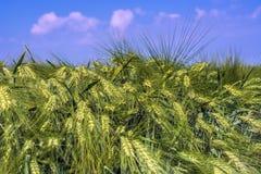 酿造大麦的很多耳朵反对蓝天和云彩的 免版税库存图片