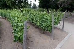 酿酒厂` Concho y Tora `的葡萄园 库存图片