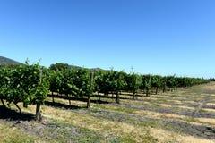 酿酒厂Viu Manent的葡萄园 免版税库存照片