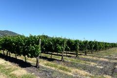 酿酒厂Viu Manent的葡萄园 库存照片