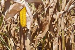 醇厚的玉米 库存图片