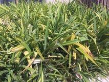 醉汉在庭院里使-绿色植物环境美化 库存照片