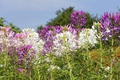 醉蝶花在外面领域的斯皮诺萨花 免版税库存图片