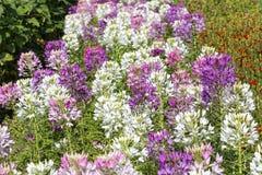 醉蝶花在外面领域的斯皮诺萨花 库存照片