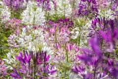 醉蝶花在外面领域的斯皮诺萨花 免版税库存照片