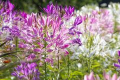 醉蝶花在外面领域的斯皮诺萨花 免版税图库摄影