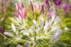 醉蝶花斯皮诺萨开花在领域的特写镜头外面 库存照片