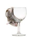 醉酒的仓鼠 免版税库存图片