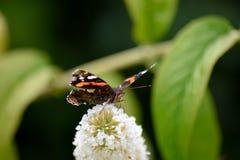 醉鱼草属的布什红蛱蝶 免版税库存图片
