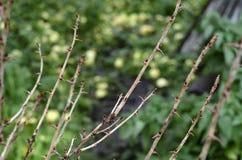 醋栗灌木丛分支与多刺的刺的 免版税库存照片