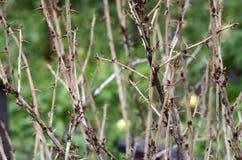 醋栗灌木丛分支Interlacings与多刺的刺的 免版税库存图片