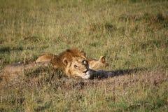 醒来的狮子  免版税库存照片